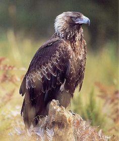 The Tasmanian wedge-tail eagle.