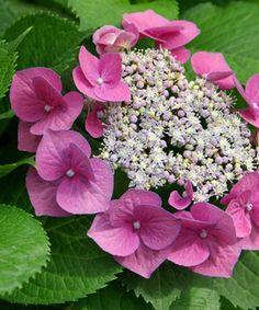 Hydrangea 'Teller Pink'