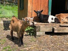 Ausflugstipp: Freizeitpark und Wildpark Untertauern | Gänseblümchen & Sonnenschein Goats, Animals, Amusement Parks, Sunshine, Vacation, Animales, Animaux, Animal, Animais