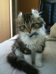 みんなの猫図鑑 - アメリカンカール(子猫情報も検索可能)