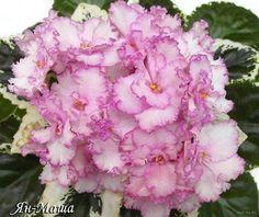 Saintpaulia, African Violet, Wild Ones, Live Plants, Rose Bouquet, Growing Plants, Dream Garden, Houseplants, Indoor Plants