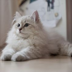 Siberian Cat - a large sized, long coated cat breed, originally from Russia. Cute Cats And Kittens, I Love Cats, Crazy Cats, Cool Cats, Kittens Cutest, Tabby Kittens, American Bobtail, Pretty Cats, Beautiful Cats