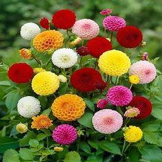 Dahlia (Dahlia Variabilis Pompon) - Don't forget Dahlia seeds! They are…