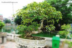 bonsai-14