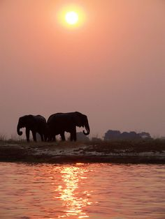 Elephants on the banks of the river at sunset -  in Chobe National Park - Botswana.