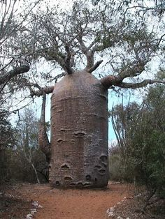 Adansonia or more commonly called the Baobab tree. These are found in Madagascar, Africa, and Australia