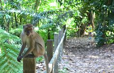 For nature lovers travelling to Singapore, there is no better place to visit than MacRitchie Reservoir. | #Singapore #Asia #YourSingapore #Nature #Monkey