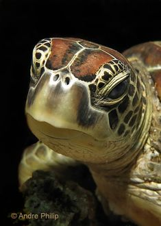 I have seen numerous suggestions for Russian tortoise diet Some great Some awful. Russian Tortoises are nibblers and appreciate broad leaf plants. Baby Sea Turtles, Cute Turtles, Underwater Creatures, Ocean Creatures, Beautiful Creatures, Animals Beautiful, Regard Animal, Tortoise Turtle, Underwater Photographer