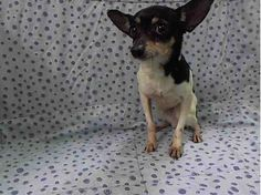 SUPER URGENT 4/14/14 Manhattan Center   TEDDY - A0996472   MALE, BLACK / WHITE, TOY FOX TERRIER, 10 yrs STRAY - STRAY WAIT, HOLD FOR ID Reason STRAY  Intake condition GERIATRIC Intake Date 04/12/2014, From NY 11413, DueOut Date 04/21/2014,  https://www.facebook.com/photo.php?fbid=787017411311140&set=a.617942388218644.1073741870.152876678058553&type=3&theater