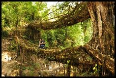 The Root Bridges of Meghalaya