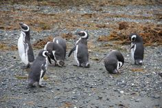 Penguins in Patagonia (the southern end of South America):  #vacation #nature #adventure  Visit transatlantic.travel or contact Eileen Schlichting to learn more!
