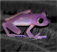 Purple frog.