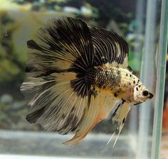 Hi, Lyssa and Hannah here! We love betta fish a lot. I also do a lot of betta things with my friend Sav. WELCOME TO BETTA BUTTS. Pretty Fish, Beautiful Fish, Betta Tank, Fish Tank, Colorful Fish, Tropical Fish, Aquariums, Poisson Combatant, Fish Antibiotics