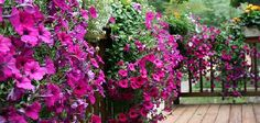 Petunias by Linda. (Excellent explanation of the different types of Petunias available for gardeners!)