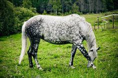 Beautiful dapple grey