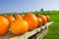 You can grow favourite Hokkaido pumpkin in your garden. If you are lucky enough and your harvest is rich, you can store pumpkins without any problem for a long time… Fall Pumpkins, Houseplants, Squash, Harvest, Gardening, Vegetables, Poultry Farming, Food, Education