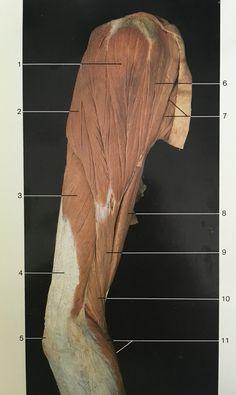 Lateral aspect muscles of right deltoid, brachii, brachii, radialis, extensor carpi radialis longus. Muscle Anatomy, Body Anatomy, Human Anatomy, Muscular System, Muscle Body, Medical Art, Medical Illustration, Yin Yoga, Anatomy Reference
