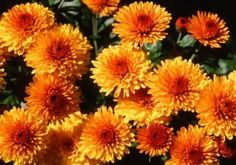 Google Image Result for http://img.ehowcdn.com/article-new/ehow/images/a07/4h/ja/fall-winter-flowers-north-texas-1.1-800x800.jpg