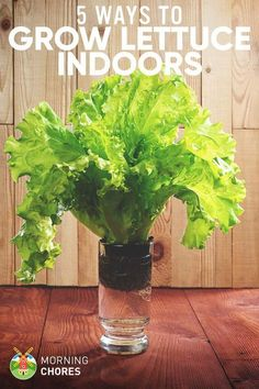 Do you want to have fresh lettuce but without digging soil? Here are 5 ways to growing lettuce indoors or in container all year round.
