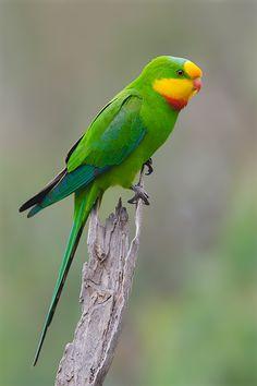 male Superb Parrot -Australia