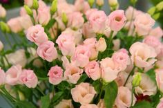 sweetheart roses.  want to grow these