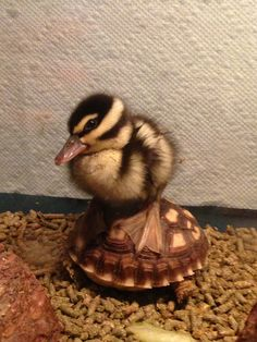Baby wood duck on an African spurred tortoise