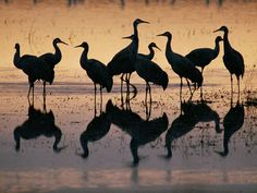 A marsh in New Mexico's Bosque del Apache National Wildlife Refuge reflects a group of sandhill cranes.