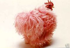 If I had chickens, I would have one of these. Pink Frizzle Chicken