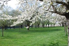 Cherry trees blooming!