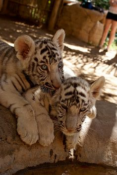 Baby White Tigers at a rescue in South Africa Baby White Tiger, White Tigers, Cute Cat Breeds, South Africa, Photographs, Cats, Animals, Gatos, Animales
