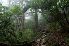Forest on Yakushima Island, Japan. By 利用者:Σ64