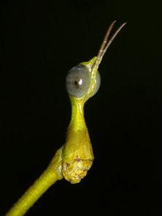 Stick Grasshopper from Ecuador, Proscopiidae