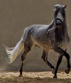 Dapple Grey Horses Are So Beautiful! Most Beautiful Animals, Beautiful Horses, Beautiful Creatures, Dapple Grey Horses, Gray Horse, Andalusian Horse, Majestic Horse, All The Pretty Horses, Horse Pictures
