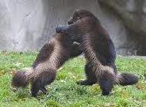 Image result for wolverine animal fighting bear
