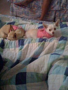 I've wanted Chihuahuas my entire adult life! Meet Daisy & Chi Chi, the newest members of our family.