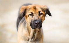 Télécharger fonds d'écran grande brune chien, animaux de compagnie, chiens, portrait, visage triste, la tristesse concepts