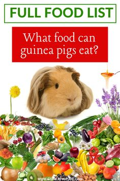 What Food Can Guinea Pigs Eat? – Full List Types of Foods) - Are you looking for a guinea pigs food list and are you interested in what food can guinea pigs eat - # Guinea Pig Food List, Diy Guinea Pig Cage, Guinea Pig House, Baby Guinea Pigs, Guinea Pig Care, Caring For Guinea Pigs, Diy Guinea Pig Toys, Guinea Pig Information, Whales