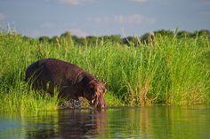 Nijlpaard Zambezi river Lower Zambezi Zambia