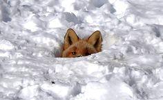 Baby fox in Toksook Bay Alaska http://ift.tt/2mVXcqT