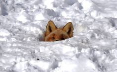 Baby fox in Toksook Bay Alaska http://ift.tt/2mVXcqT