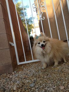 The Great Pomeranian Escape | Where Mommies of the Pomeranian Breed can gather and socialize  pommymommy.com