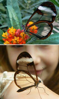 Farfalla ali di vetro (Greta Oto)