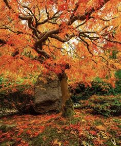 Japanese Maple Fall Pictures, Fall Photos, Enchanted Tree, Autumn Scenes, Nature Posters, Old Trees, Fall Wallpaper, Pumpkin Wallpaper, Photoshop