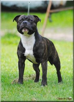 Billy john carbonarastaff | Staffordshire Bull Terrier