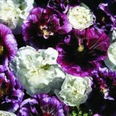 35 Blackberry Ripple Hollyhock Flower Seeds  Perennial >>> You can get additional details at the image link.