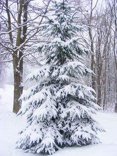 Snow-covered tree pine winter snow