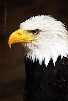 Arpita Basu- American Bald Eagle