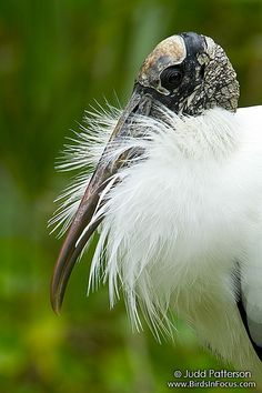 This guy was looking nice with the fresh breeding plumage. They are such a strange-looking bird!
