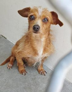 ***ADOPTED!!** This little guy is 2 and he must have been scared by the fireworks and now he is missing his home. #A4851474 I'm a 2 year old male chihuahua lh. I am not yet neutered. I have been at the Carson Animal Care Center since July 2, 2015. You can visit me at my temporary home at C103. http://www.petharbor.com/pet.asp?uaid=LACO1.A4851400 Carson Shelter, Gardena, CA 310.523.9566