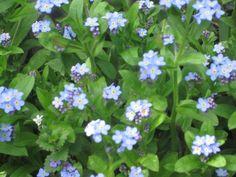 Frühjahrsblumen, Vergissmeinnicht,